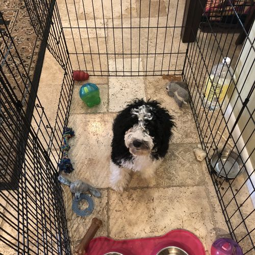 Bauer the Sheepadoodle learning to get comfortable in playpen