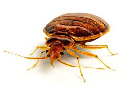 Knowledge of Bed Bugs, their feeding habits and life cycle is essential to understanding the level of infestation and eradication method needed for each home.