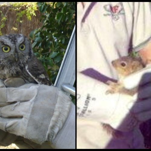 We provide exclusion services for a variety of wildlife including birds, bats, squirrels, rodents, and more. Contact our office for more information. (Animals pictured below were released on site after exclusion services were completed)