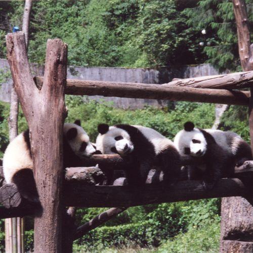 Carefree pandas, China!