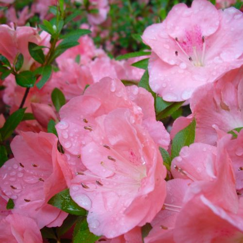 Wakaebisu Azaleas bloom late spring to early summer.