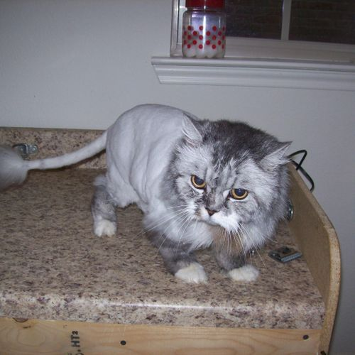 Lion cut, with small puff left on the end of the tail.  Longer mane and hair left unshaved on all 4 feet.