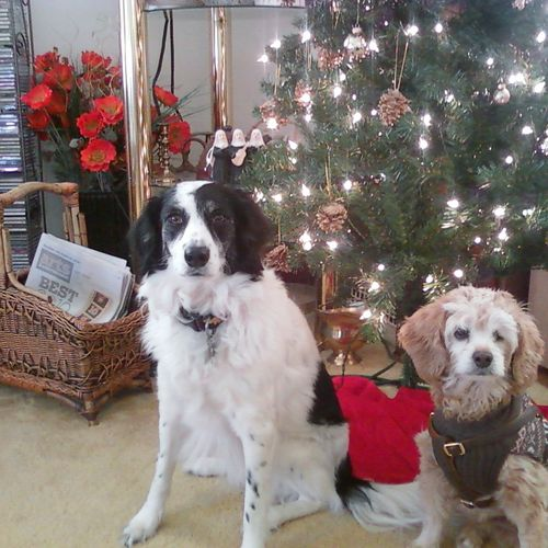 My two pups posing for yet another Holiday photo!  LOL!