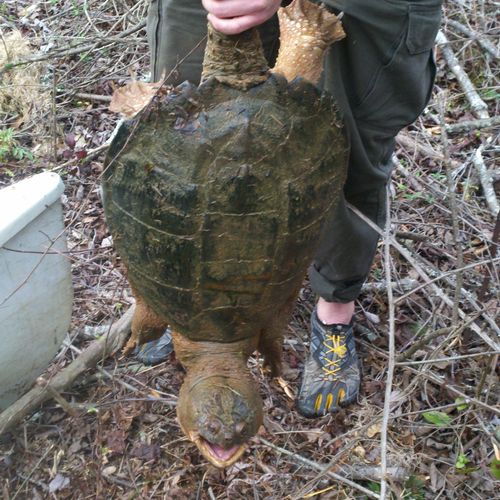 Snapping Turtle Trapping Moreland, GA for more information see www.ecowildlifesolutions.com