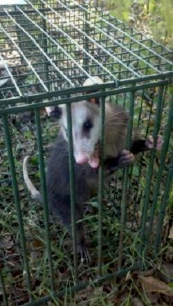 Juvenile Opossum Removal Sharpsburg, GA for more information see www.ecowildlifesolutions.com