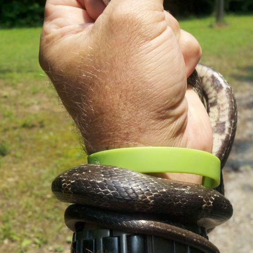 Snake Removal Moreland, Ga for more information see www.ecowildlifesolutions.com