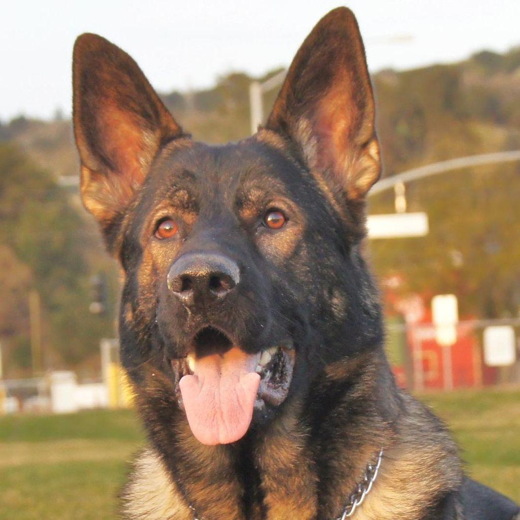 YesK-9 Training and Behavior