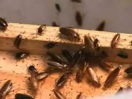 Roache infestation