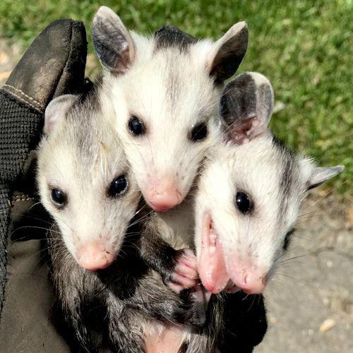 Three headed opossum...sort of