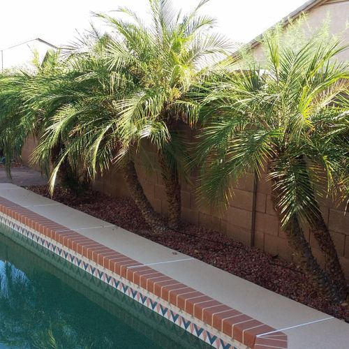 Pygmy Palms (BEFORE)