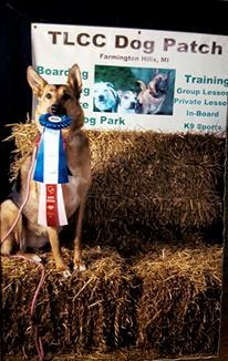 Raven showing off her spoils- High In Trial at a recent Barn Hunt trial.   Not just an obedience dog!