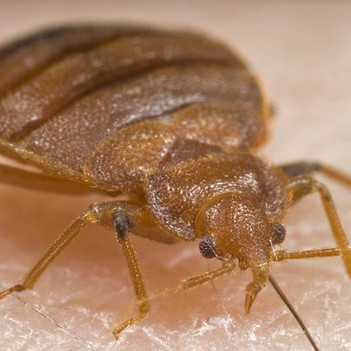 A bed bug up close.