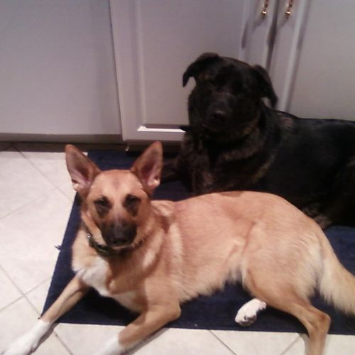 Ann's GSD-mix dogs Jasper and Libby