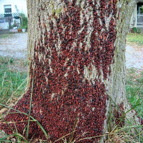 Boxelder bugs/ boxelder tree