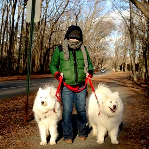 5 degrees outside and walking the Samoyeds on their hour long walk