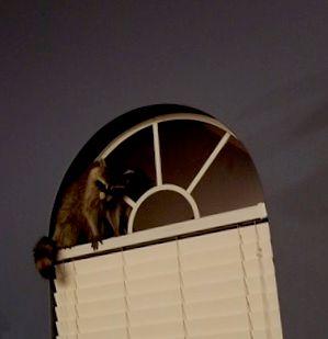 Raccoon in customers living room 10/2018