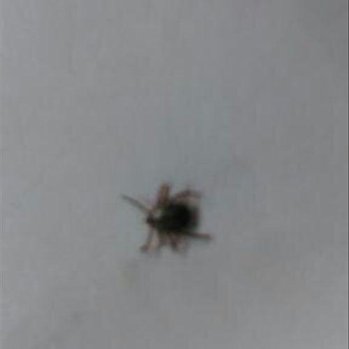 Bedbug ... Looks like a small apple seed