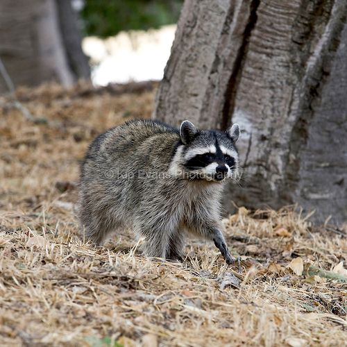 Expert raccoon trapping and removal + Home sealing experts