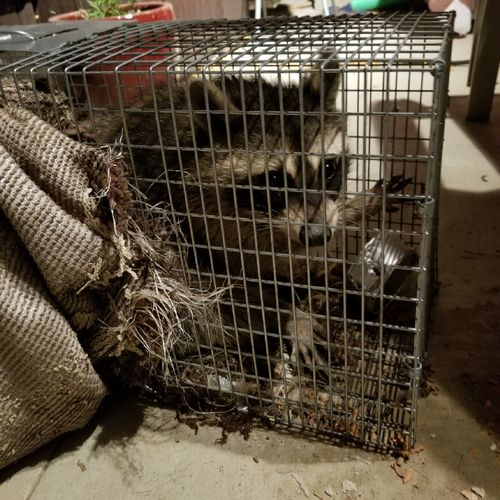 A raccoon I trapped. I relocated him after I took this picture.