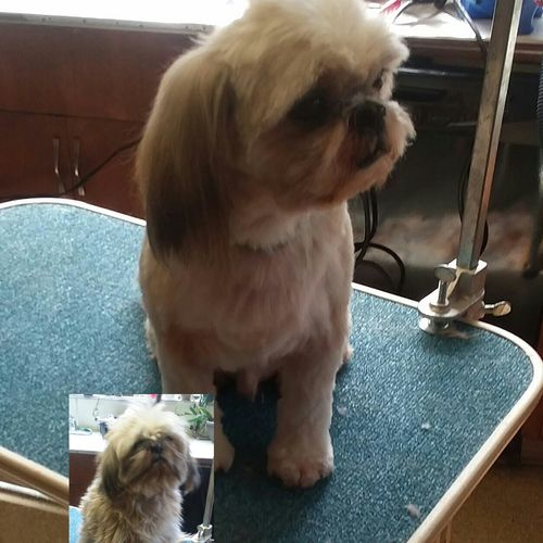 ShihTzu, before and after