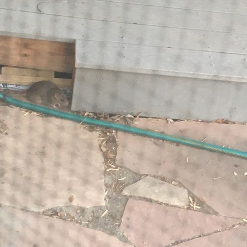 A rat living under a customer's deck