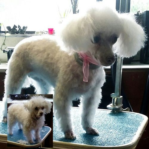 Toy Poodle, before and after