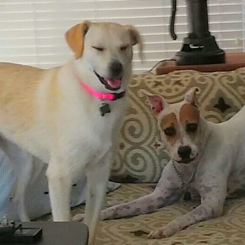 Very high energy dogs need 1 hr+ exercise per day. Hazel (client) & Zsa (mine) work out together.