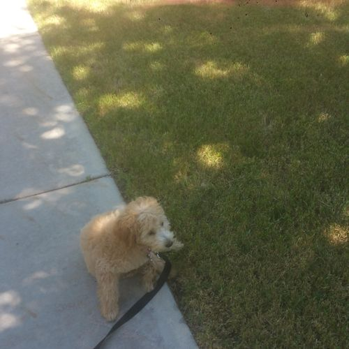 Malti-Poo - Loose Leash Walking - Auto sit and wait