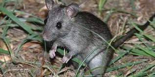 Expert mouse trapping and removal + Home sealing experts