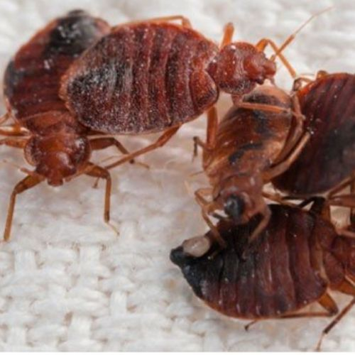 Adult Bed Bugs!