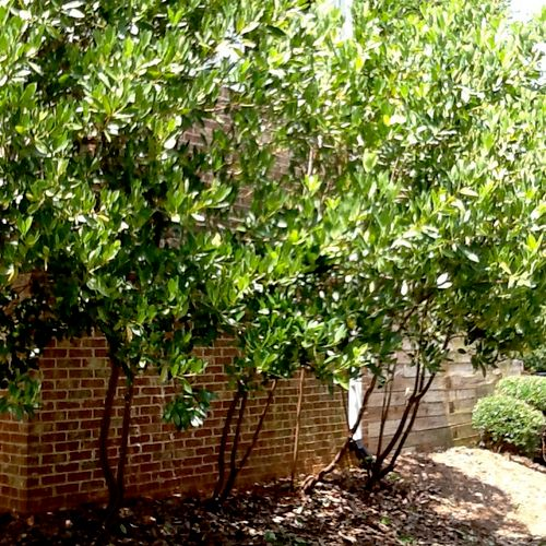 Anise tree pruning