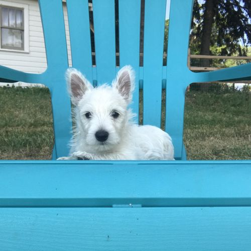 Waffles is an 8 week old Westie puppy that I helped a family select from a litter. Waffles stayed in my home for 2 weeks for puppy training including house training, socialization, name recognition, leash walking, and basic recalls.