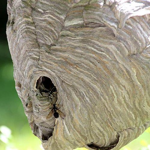 Bald Face Hornets