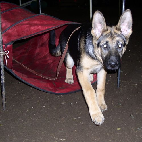 Training customer pup for tunnel