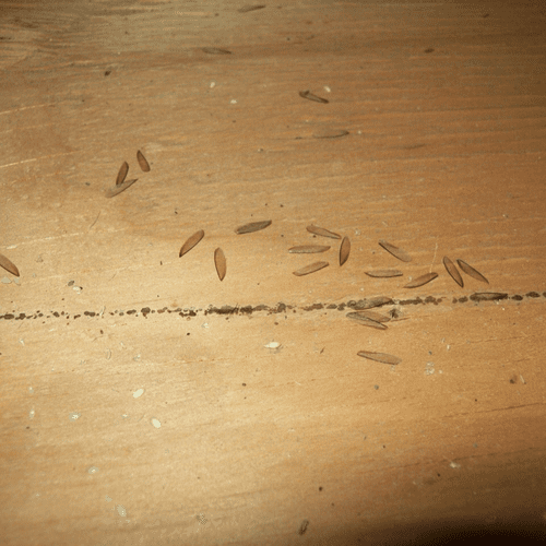 Drywood termite wings