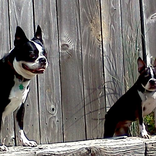 My 2 Rescues. Maximus on the left and Frenchie on the right.