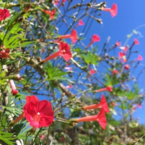 Cardinal Vine for attracting hummingbirds.