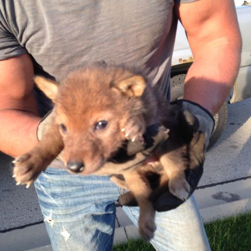 Coyote pups saved