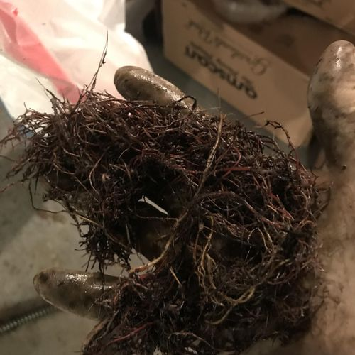 Tree roots found in sewer, removed from snake.