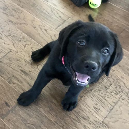 LouLu the black lab puppy is off to a great start learning her basic commands (sit, down, come, stay, leave it)!