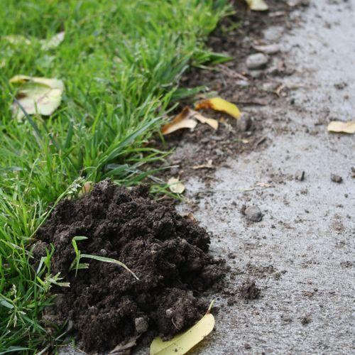 Mole in lawn