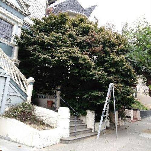 Japanese Maple (Acer palmatum) BEFORE