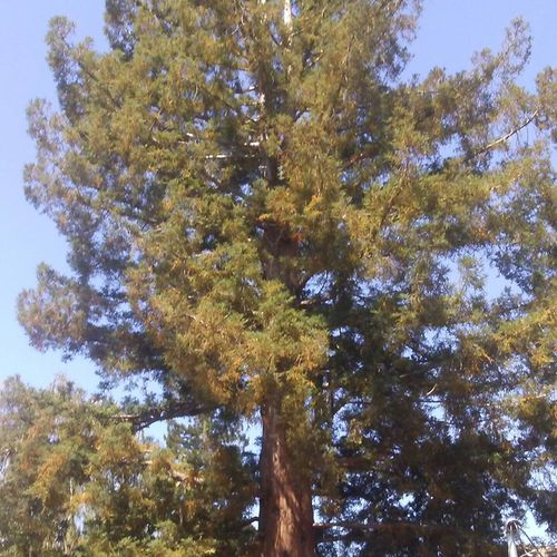 Redwood (Sequoia sempervirens) BEFORE