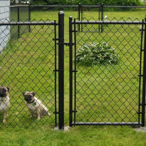 Two cute pugs enjoying the black chain link fence