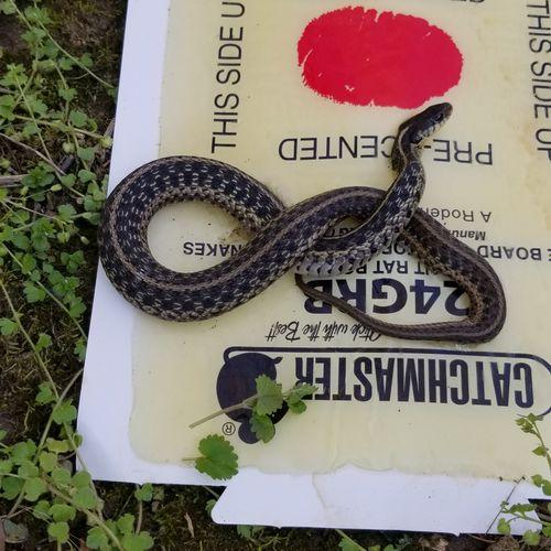 Garter snake - Caught & Removed