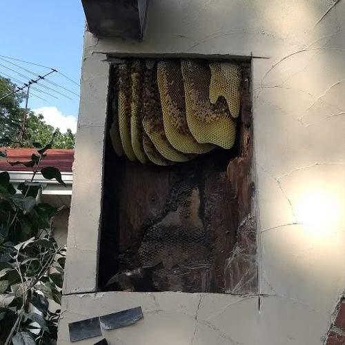A honey bee colony in an exterior wall