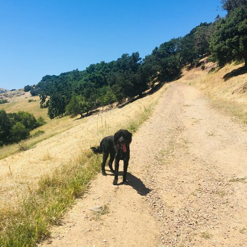 Sirius Black, labradoodle 1 year old, hiking Sleepy Hollow
