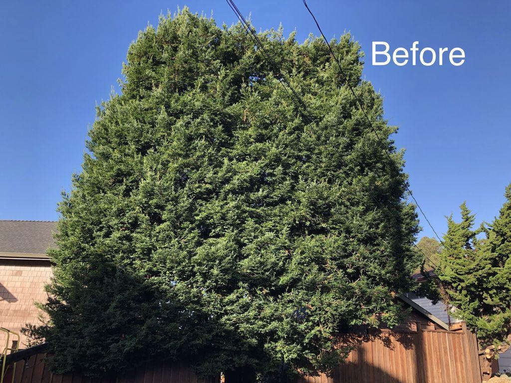 Redwood pruning