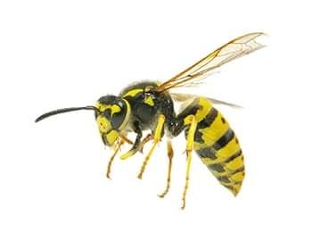 Wasps, Yellowjackets and other stinging pests can be effectively eliminated