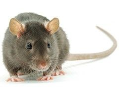 Rats, Mice and Voles are no problem